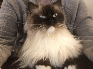 Fluffy Ragdoll Cat